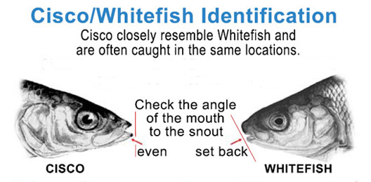 Lake Herring Whitefish Identification