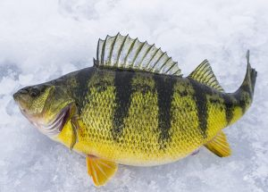 simcoe-perch-2015