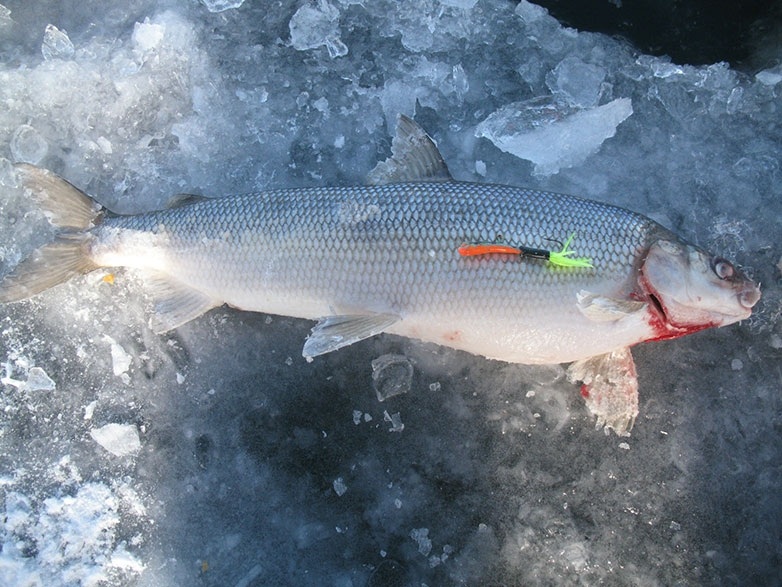 Lake simcoe top winter fish species for Best white fish