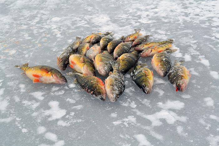 Lake simcoe fishing forum topic ice fishing for lake for Ice fishing perch