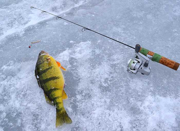 lake_simcoe_jumbo_perch-mar_16_2013_6.jpg